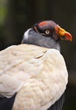 King Vulture head and back Royalty Free Stock Images
