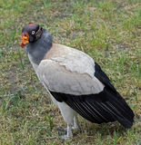 King vulture 1 Stock Photography