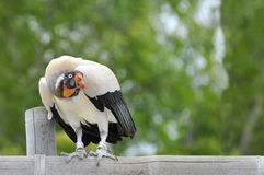 Free King Vulture On Perch Stock Photography - 19118542