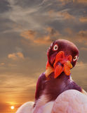 King Vulture Portait as the Sun Sets Stock Photography