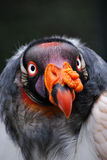 King Vulture Portrait. Shot of a King Vulture looking straight ahead, taken with a telephoto lens in South America Stock Photos