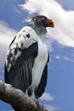 King Vulture - Sarcoramphus papa Stock Photography
