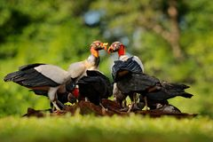 King vulture, Sarcoramphus papa, with carcas and black vultures. Red head bird, forest in the background. Wildlife scene from trop. Ic nature. Condors in tropic Stock Photography