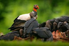 King vulture, Sarcoramphus papa, with carcas and black vultures. Red head bird, forest in the background. Wildlife scene from trop. Ic nature. Condors in tropic Stock Photo