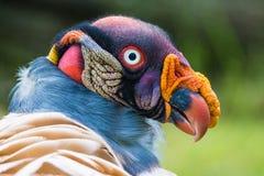 King vulture (Sarcoramphus papa) stock images
