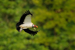 King vulture, Sarcoramphus papa, large bird found in Central and South America. King vulture in fly. Flying bird, forest in the ba Stock Photos