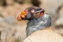 King vulture (Sarcoramphus papa) Royalty Free Stock Image