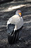 King vulture Royalty Free Stock Image