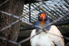 King Vulture. In a zoo cage Royalty Free Stock Images