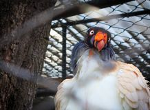 King Vulture. In a zoo cage Stock Photo