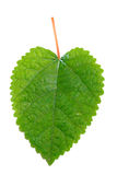 King white mulberry leaf Stock Image