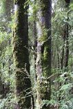 Tall Trees in Tasmanian Forest. King William Pine is a conifer endemic to Tasmania, and found only in highland rainforest areas above 600m. It is a medium sized stock image