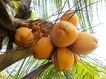 King yellow coconut bunch fruits Royalty Free Stock Photo