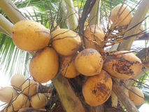 King yellow coconut bunch fruits Stock Photos
