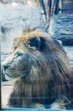 King at zoo Royalty Free Stock Photography