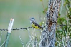 kingbird δυτικός στοκ εικόνες