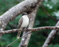Kingbird морской черепахи Стоковые Фото