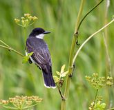 kingbird Royaltyfria Foton