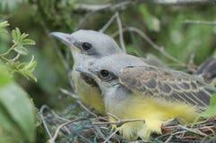 Kingbird Chics Stock Foto