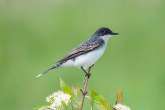 Kingbird del este foto de archivo libre de regalías