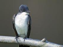 Kingbird del este Fotografía de archivo