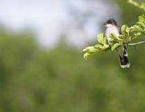 Kingbird del este con Copyspace Imagen de archivo libre de regalías