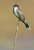 Kingbird del este encaramado Fotos de archivo