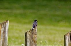 Kingbird del este que mira al lado Fotos de archivo libres de regalías