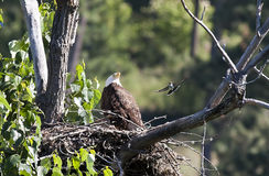 Kingbird flies by eagle. An eastern kingbird swoops in to harass a bald eagle in its nest Royalty Free Stock Photos