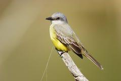 Kingbird (melancholicus de Tyrannus) Photos libres de droits