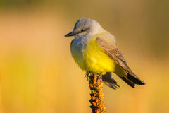 Kingbird occidental à la lumière du soleil de matin Images stock