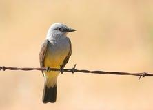 Kingbird occidental Imágenes de archivo libres de regalías