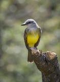 Kingbird occidental Fotografía de archivo libre de regalías