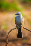 Kingbird occidental au soleil Photographie stock libre de droits