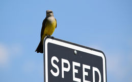 Kingbird occidental dans le Colorado Images stock