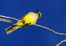 Kingbird op Tak wordt neergestreken die Stock Foto's
