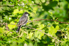 Kingbird oriental été perché dans un arbre Image stock