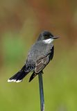 Kingbird oriental Photo stock