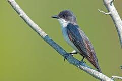 Kingbird oriental Photo libre de droits