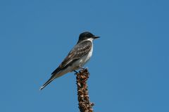 Kingbird oriental Fotos de Stock