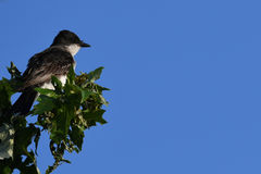 Kingbird oriental Fotografia de Stock Royalty Free