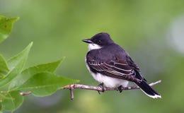 Kingbird oriental empoleirado no ramo Imagens de Stock