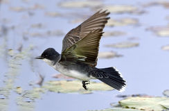 Kingbird oriental en vol Photo libre de droits