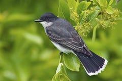 Kingbird oriental (tyrannus do Tyrannus) Fotografia de Stock Royalty Free