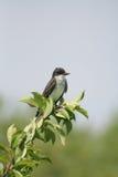 Kingbird orientale Immagini Stock