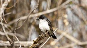 Kingbird orientale Fotografia Stock Libera da Diritti