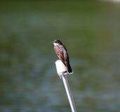 Kingbird on a post Royalty Free Stock Image