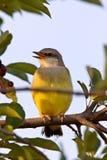kingbird saskatchewan младенца западный Стоковые Изображения