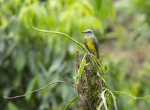 Kingbird tropical Fotos de archivo