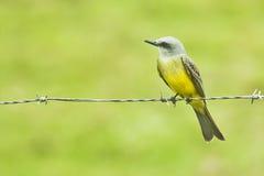 Kingbird tropical en un alambre Fotos de archivo
